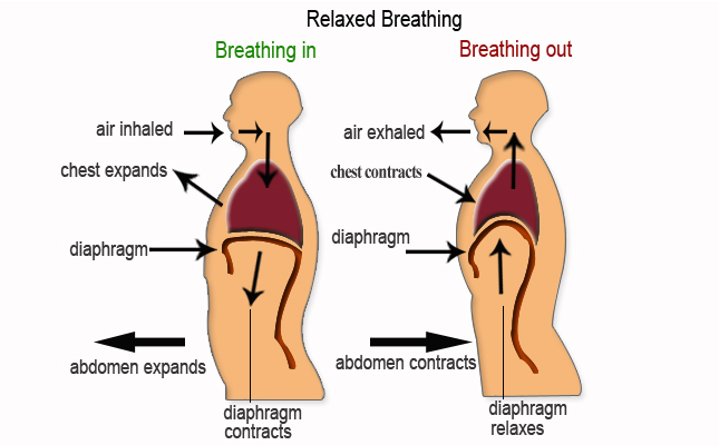 breathing-diaphragm