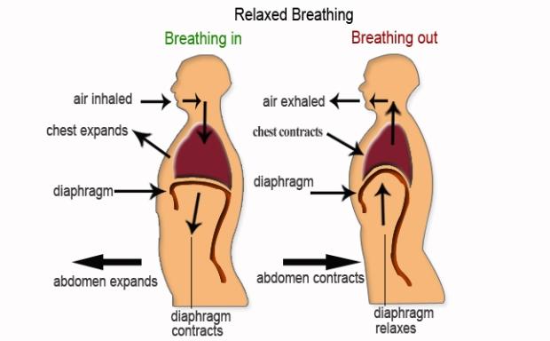breathing-diaphragm